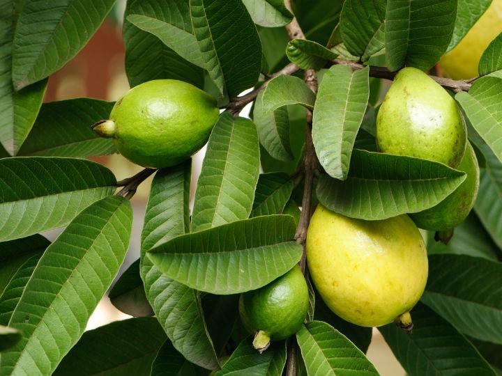 hojas de guayaba para la cara cocinadelirante