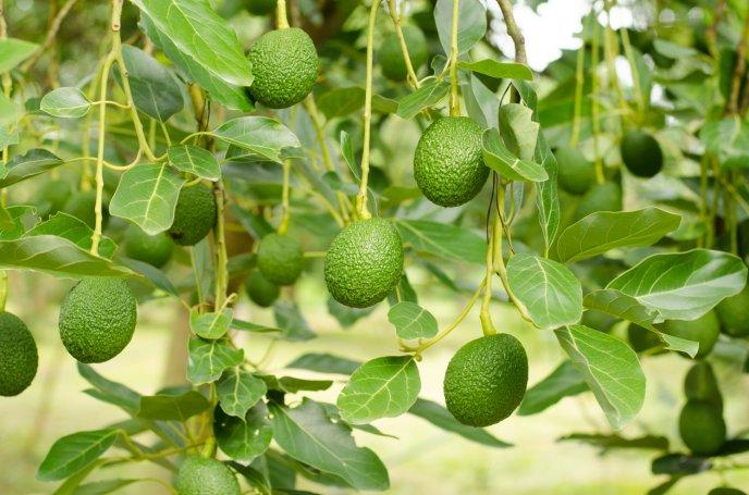 Remedios con cascara de aguacate cocinadelirante for Avocado coltivazione