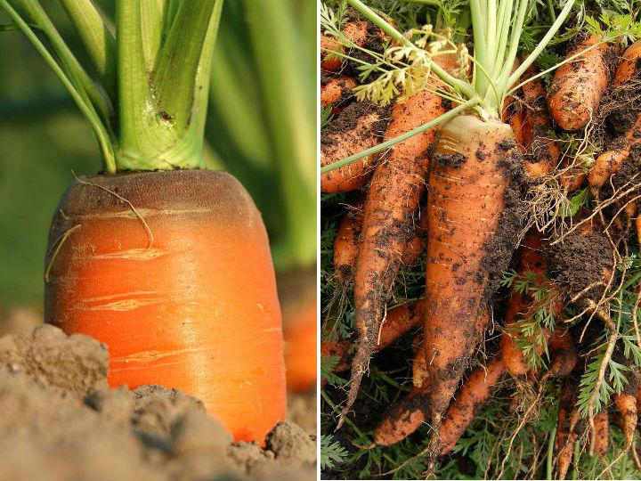 Como plantar zanahorias sin semillas for Plantar hortensias semillas