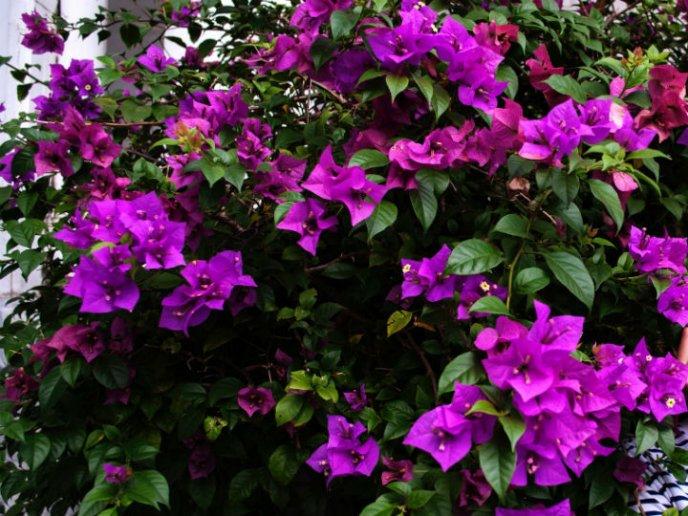 remedio para la tos con flor de bugambilia