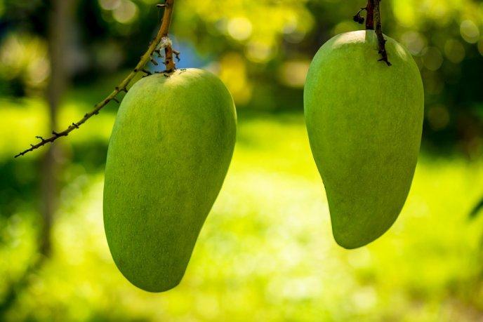 cultivar mango en casa