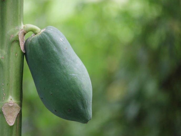 cultivar papaya en casa