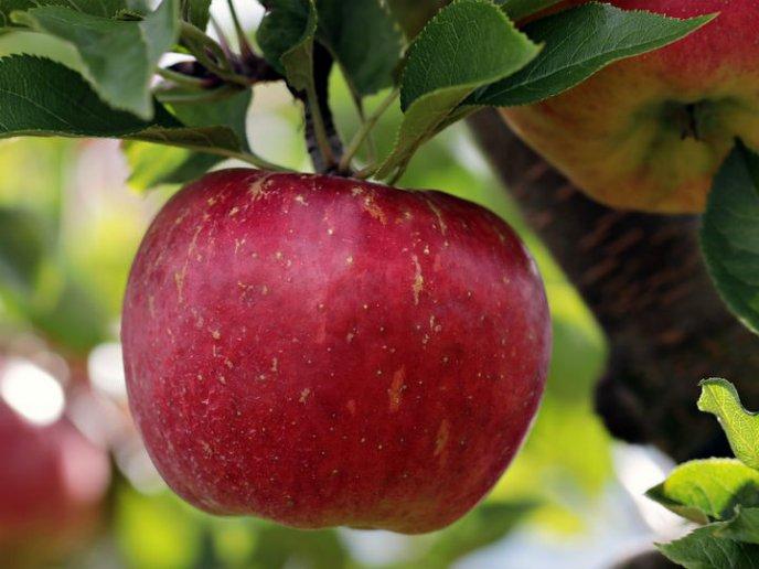 Qu 233 Pasa Si Como Manzanas Viejas