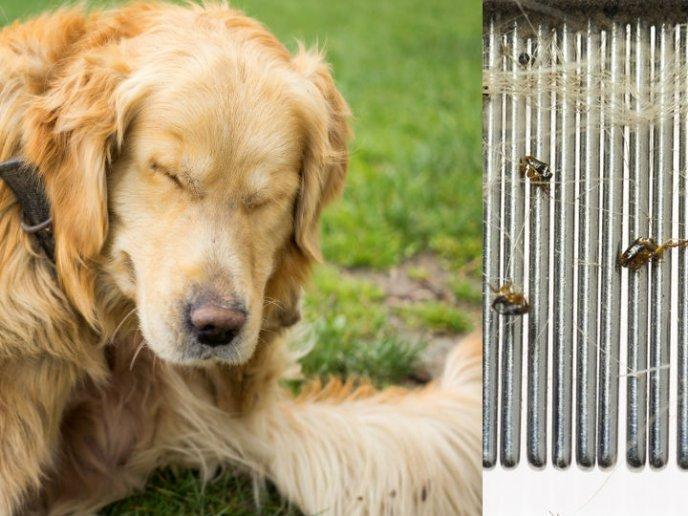 como eliminar las pulgas de un perro con remedios caseros