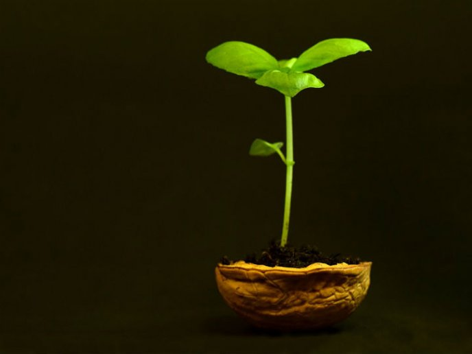 como plantar nueces en casa