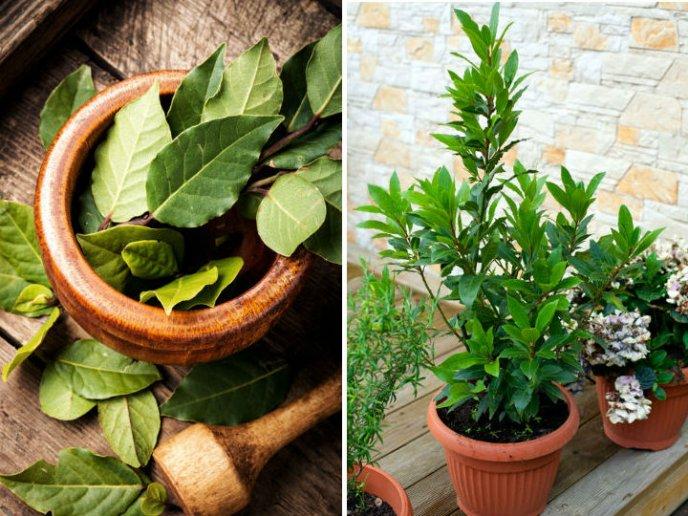 como plantar laurel