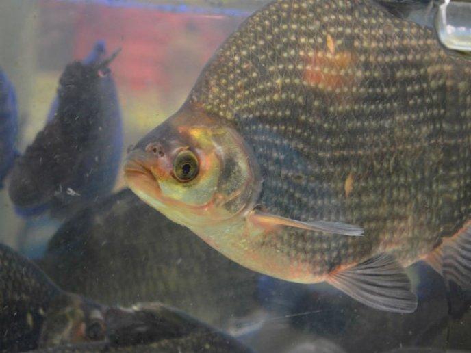 como preparar pescado blanco del nilo